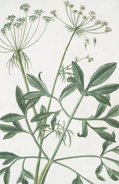 Leafy Painting - Ammi Majus  by Giorgio Bonelli
