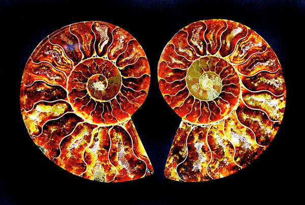 Wall Art - Photograph - Ammonite Fossil-1-pair 1 by Paul W Faust - Impressions of Light