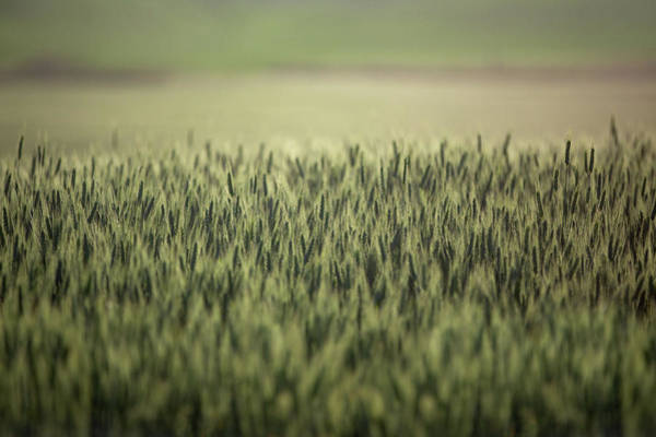 Photograph - Ample Wheat by Todd Klassy