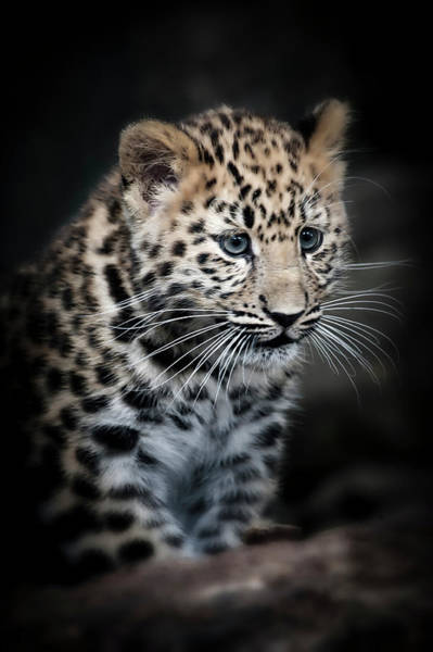 Photograph - Amur Leopard Cub by Chris Boulton