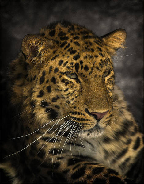 Look Away Photograph - Amur Leopard by John Dickson