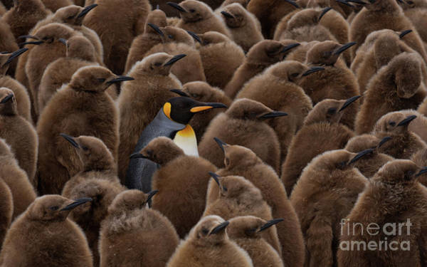 Wall Art - Photograph - An Adult Penguin Surrounded By Young by Mike Reyfman