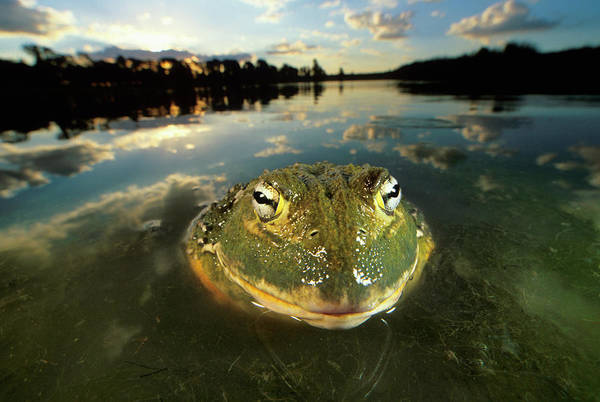 Bullfrog Photograph - An African Bullfrog Partially Submerged by Martin Harvey
