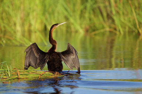 Anhinga Photograph - An African Darter At The Waters Edge by Hphimagelibrary