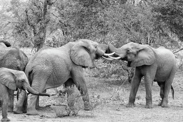 Photograph - An African Elephant Tussle In Monochrome by Mark Hunter