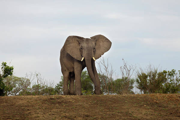 Safari Animal Photograph - An African Elephant Walking Towards by Sean Russell