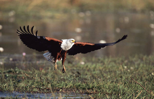 Eagle Photograph - An African Fish Eagle Flying Low Over by Gerald Hinde