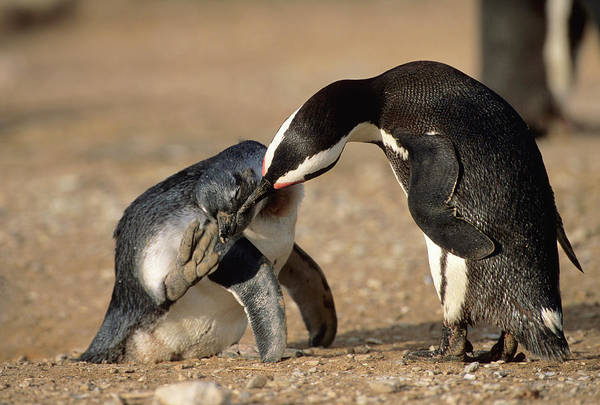 Safari Animal Photograph - An African Penguin Grooming Her Young by Martin Harvey