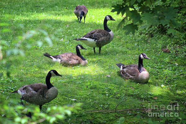 Photograph - An Afternoon With Canada Geese by Karen Adams