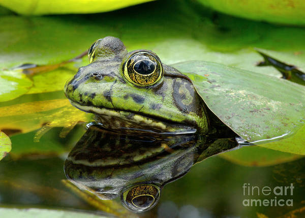 Wall Art - Photograph - An American Bullfrog. Photo Taken In by Angel Dibilio