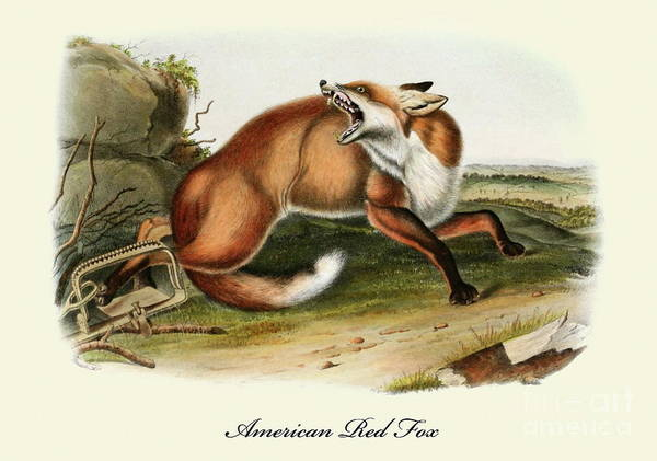 Painting - An American Red Fox Vintage Print by John James Audubon