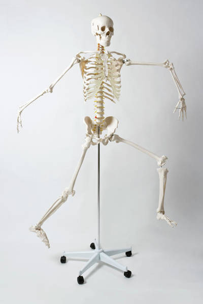 Body Parts Photograph - An Anatomical Skeleton Model Running by Rachel De Joode
