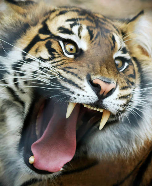 Growling Wall Art - Photograph - An Angry Tiger Roars Fiercely by Derrick Neill