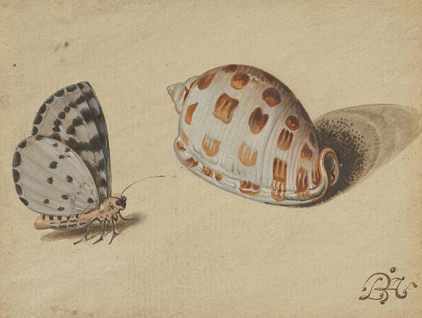 Painting - An Arrowhead Blue Butterfly And A Scotch Bonnet Sea Shell by Balthasar van der Ast