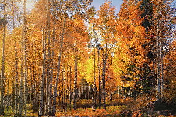 Wall Art - Photograph - An Autumn Morning Amongst The Aspens  by Saija Lehtonen