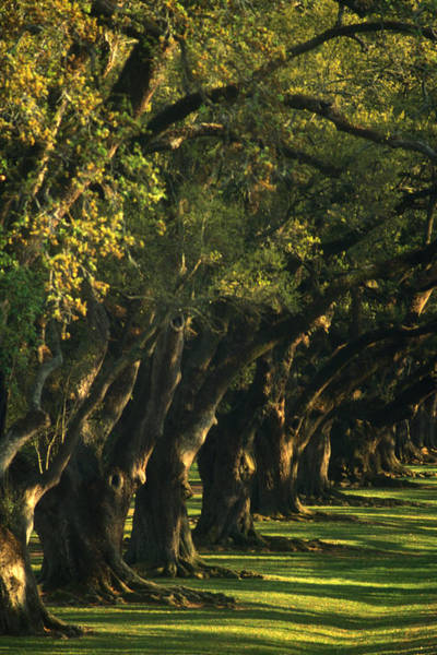Louisiana Photograph - An Avenue Of Oak Trees by Lyle Leduc
