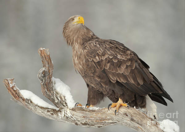 Wall Art - Photograph - An Eagle Perched On A Snow-covered by Andy Astbury
