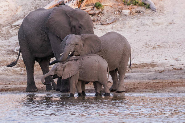 African Bush Elephant Photograph - An Elephant Family Drinks And Refreshes by Brenda Tharp
