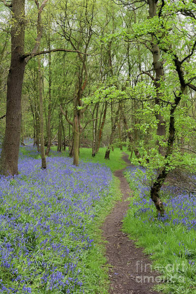 Wall Art - Photograph - An English Bluebell Wood by John Edwards