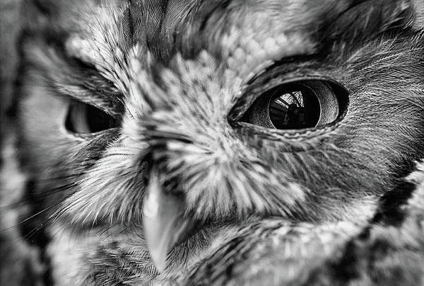 Photograph - An Eye On You Screech Owl Black And White by JC Findley