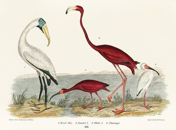 Wall Art - Painting - An Illustration From A Book Of American Nature Literature And Illustration By Alexander Wilson 1843 by Alexander Wilson