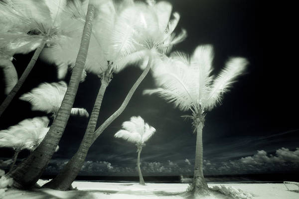 Horizontal Landscape Photograph - An Infrared Image Of Tall Palm Trees by Mint Images/ Art Wolfe