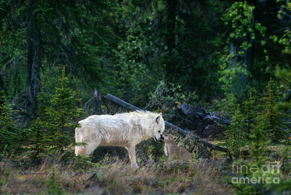 Photograph - An Intimate Gray Wolv Moment Northwest Territories Canada by Dave Welling