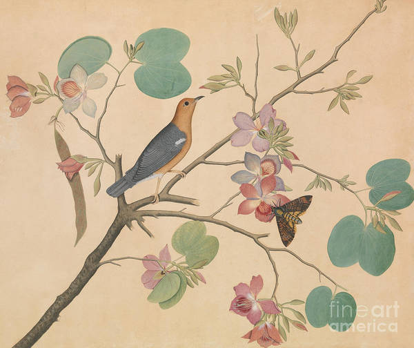Wall Art - Painting - An Orange Headed Ground Thrush And A Deaths Head Moth On A Purple Ebony Orchid Branch, 1788 by Sheikh Zainuddin