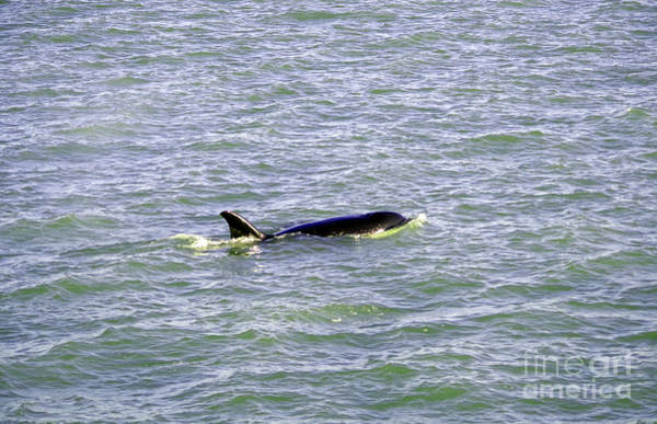 Wall Art - Photograph - An Orca On The Move by Jeff Swan