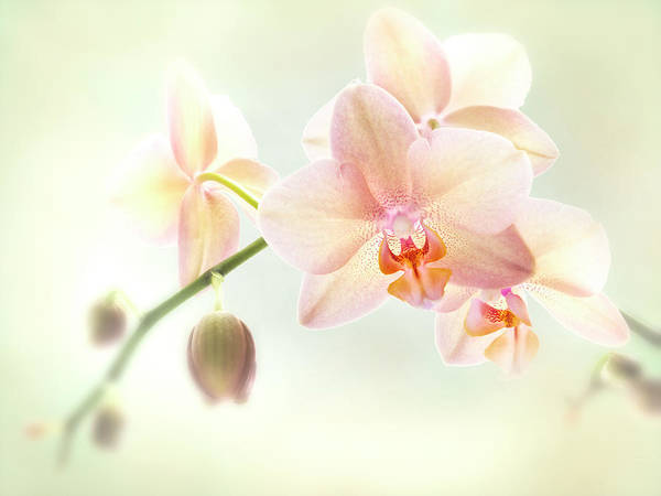 Photograph - An Orchid Spray. by Usha Peddamatham