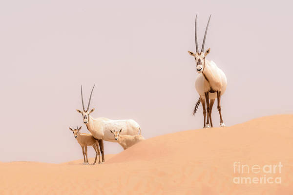 Camp Wall Art - Photograph - An Oryx Family Roam The Dunes Of The by Louielea