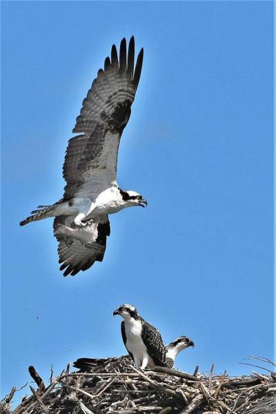 Photograph - An Osprey Nest by Kim Bemis