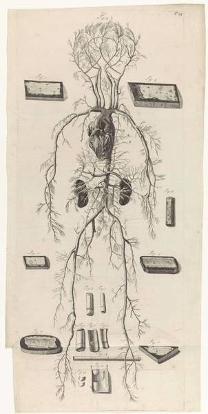 Liver Painting - Anatomical Study Of Blood Vessels And Circulatory System, Pieter Van Gunst, After Gerard De Lairesse by Gerard de Lairesse