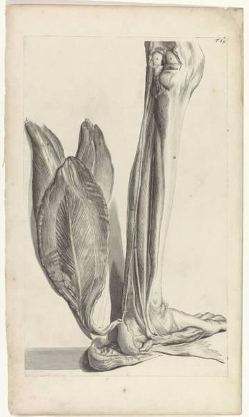 Liver Painting - Anatomical Study Of The Back Of The Left Foot, Pieter Van Gunst, After Gerard De Lairesse, 1685 by Gerard de Lairesse