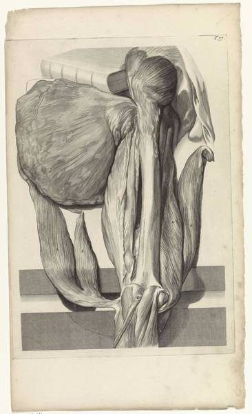 Liver Painting - Anatomical Study Of The Bone And Muscles Of The Left Femur, Pieter Van Gunst, After Gerard De Laires by Gerard de Lairesse