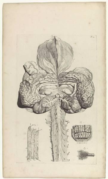 Liver Painting - Anatomical Study Of The Brain, Pieter Van Gunst, After Gerard De Lairesse, 1685 by Gerard de Lairesse