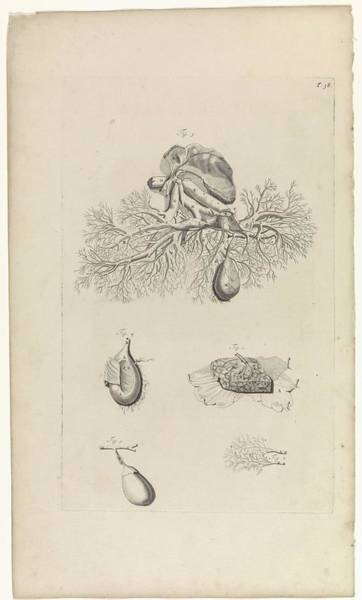 Liver Painting - Anatomical Study Of The Gallbladder, Pieter Van Gunst, After Gerard De Lairesse, 1685 by Gerard de Lairesse