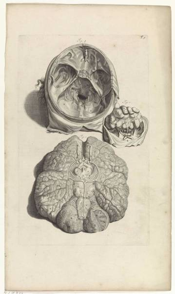 Liver Painting - Anatomical Study Of The Inside Of The Skull And Brain, Pieter Van Gunst, After Gerard De Lairesse, 1 by Gerard de Lairesse