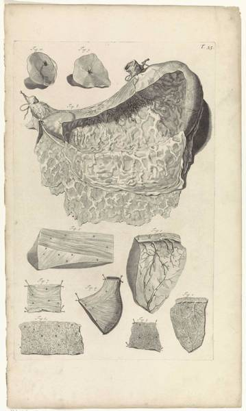 Liver Painting - Anatomical Study Of The Inside Of The Stomach, Pieter Van Gunst, After Gerard De Lairesse, 1685 by Gerard de Lairesse