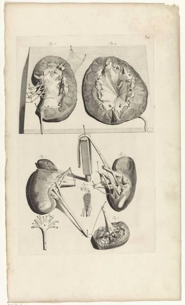 Liver Painting - Anatomical Study Of The Kidneys, Pieter Van Gunst, After Gerard De Lairesse, 1685 by Gerard de Lairesse