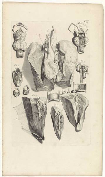 Liver Painting - Anatomical Study Of The Lungs And Larynx, Pieter Van Gunst, After Gerard De Lairesse, 1685 by Gerard de Lairesse