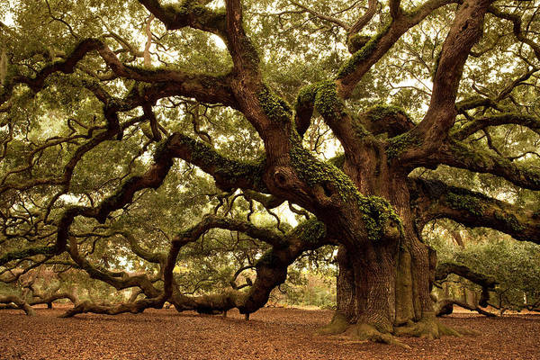 Southern Usa Photograph - Ancient Angel Oak Near Charleston by Pgiam