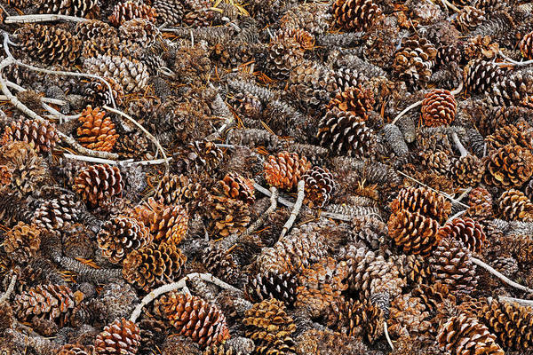 Wall Art - Photograph - Ancient Bristlecone Pine Cones by Adam Jones