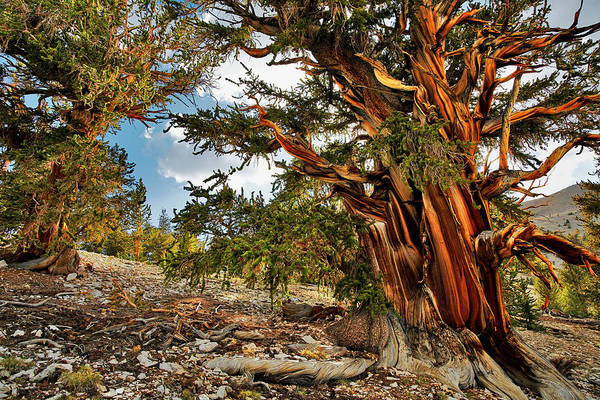 Wall Art - Photograph - Ancient Bristlecone Pine, White by Adam Jones