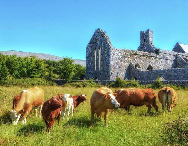 Photograph - Ancient Cows by Shannon Kelly