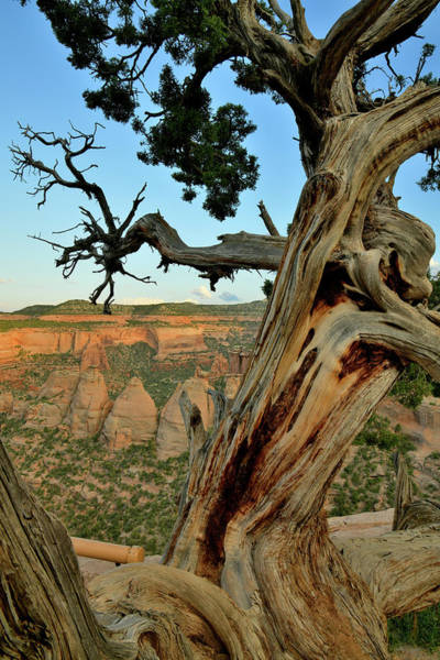 Photograph - Ancient Juniper Tree Above Coke Ovens by Ray Mathis