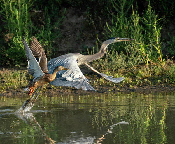 Photograph - And They're Off.  Mallard And Great Blue Heron Race by Judi Dressler