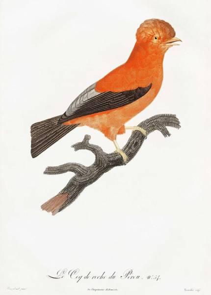 Wall Art - Painting - Andean Cock-of-the-rock From Histoire Naturelle Des Oiseaux De Paradis Et Des Rolliers 1806 By Jac by Jacques Barraband