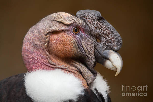 Landmark Wall Art - Photograph - Andean Condor Vultur Gryphus. Wildlife by Vladimir Wrangel