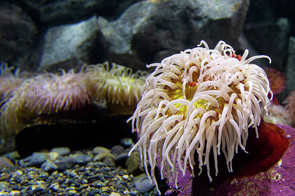 Photograph - Anemone by Bob Cournoyer